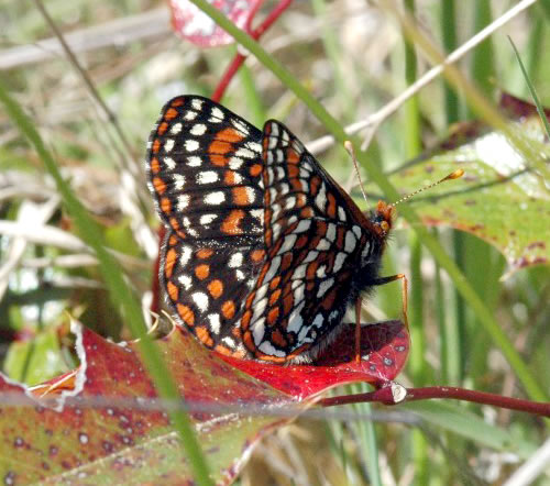 Washington State's endangered Taylor's Checkerspot